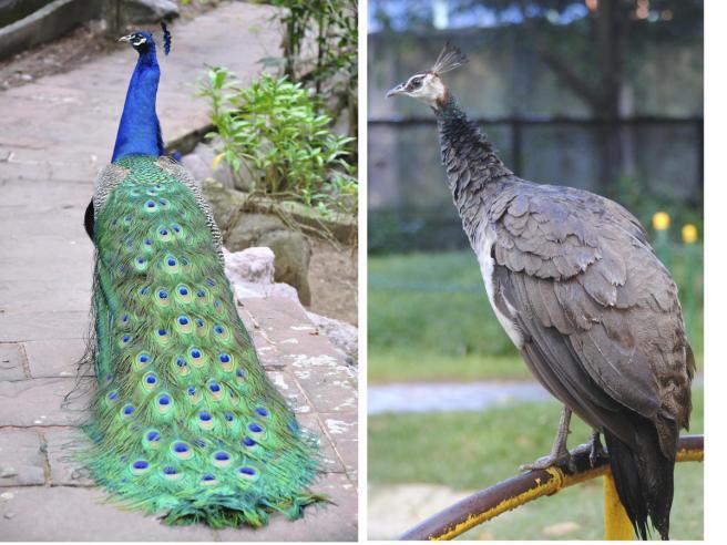 Peafowl M:F